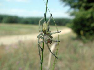 интересные факты о пауке Хеиракантиум