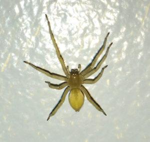 интересные факты о желтосумном колющем пауке